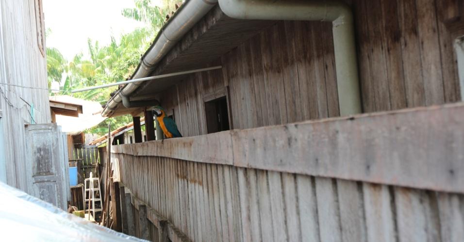 Arara é vista em residência da cidade de Afuá (PA)